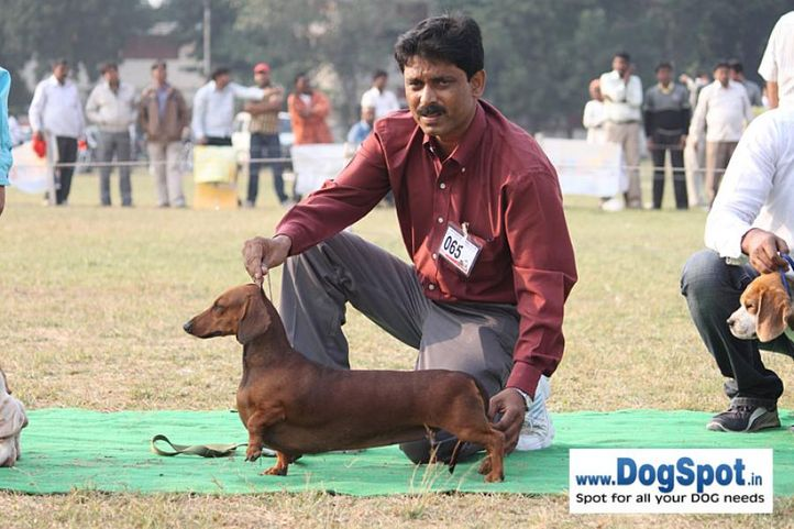 dachshund,ex-65,sw-7,, DEYWOO'S QUEENI OF SWATLANA, Dachshund Standard- Smooth Haired, DogSpot.in