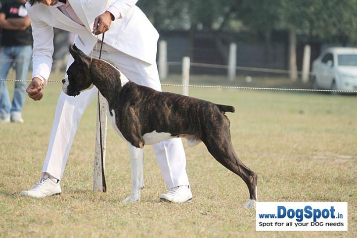 boxer,ex-152,sw-7,, SIRIO'S FLYING HIGH, Boxer, DogSpot.in