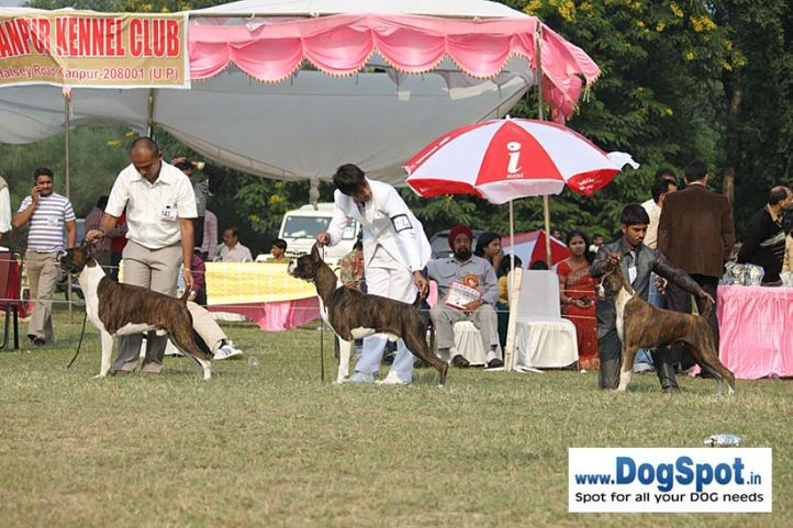 boxer,sw-7,, Kanpur Dog Show, DogSpot.in