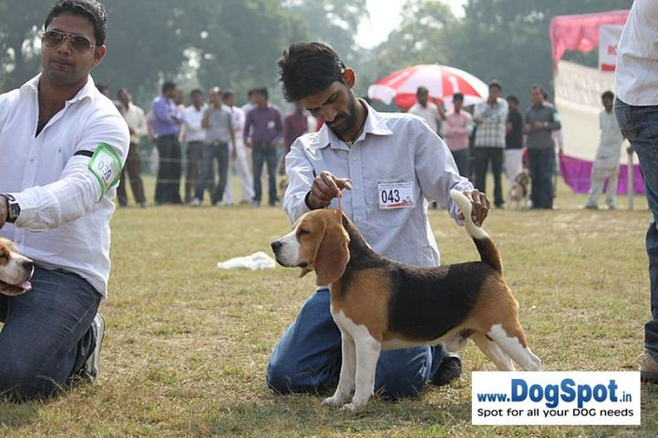 beagle,ex-43,sw-7,, YEOMAN'S FIGHITER, Beagle, DogSpot.in