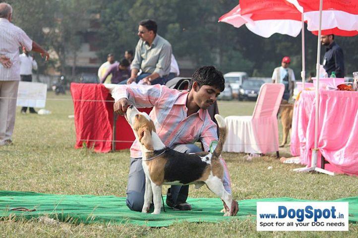 beagle,sw-7,, Kanpur Dog Show, DogSpot.in