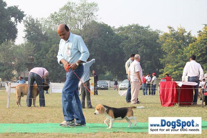 beagle,ex-55,sw-7,, BLUE BELLS TRUE BLUE, Beagle, DogSpot.in