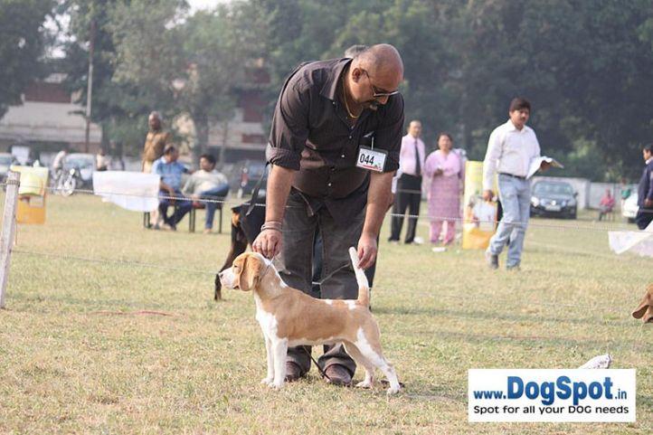 beagle,ex-44,sw-7,, CELEBRATION OF SUNNYLAND, Beagle, DogSpot.in