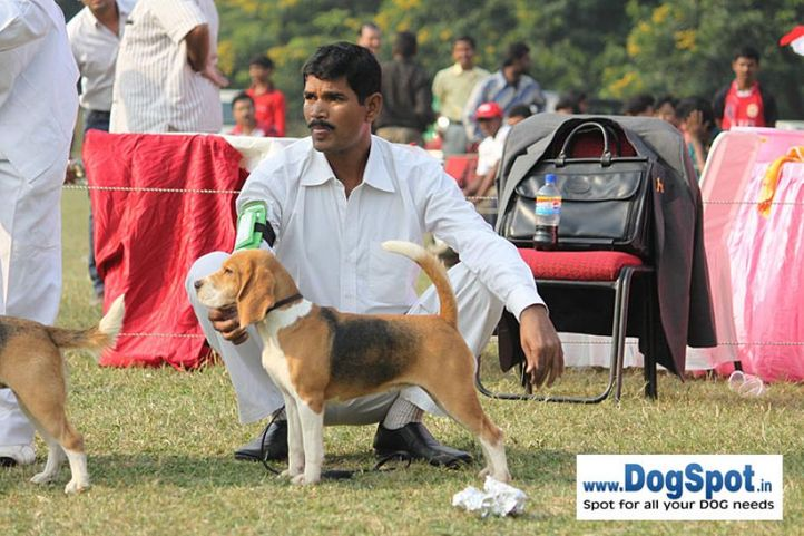 beagle,ex-47,sw-7,, BLUE BELL'S BUNNY, Beagle, DogSpot.in