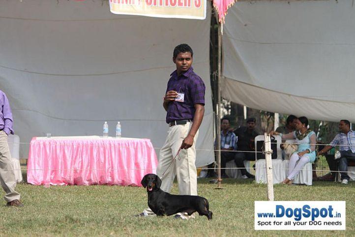 dachshund,ex-67,sw-7,, DEYWOO'S BOUNCER BOY, Dachshund Miniature- Smooth Haired, DogSpot.in