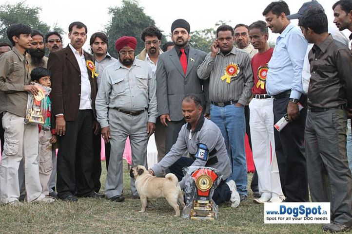 best puppy,ex-12,lineup,pug,sw-7,, SHIV VEDS ANNAK, Pug, DogSpot.in