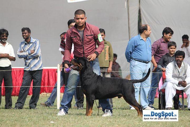 ex-219,rottweiler,sw-7,, TANGO CHARLIE, Rottweiler, DogSpot.in