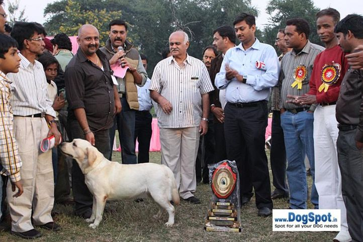 1st bis,ex-107,lab,lineup,sw-7,, BABY OF SUNNY LAND, Labrador Retriever, DogSpot.in