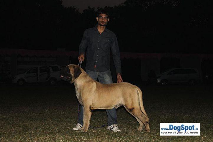 sw-7,mastiff, Kanpur Dog Show, DogSpot.in