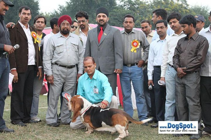 basset,ex-36,lineup,sw-7,, LASTELL'S I AM GOING TO GET YOU, Basset Hound, DogSpot.in