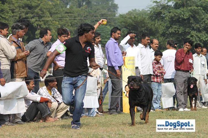 ex-205,rottweiler,sw-7,, JOHN, Rottweiler, DogSpot.in