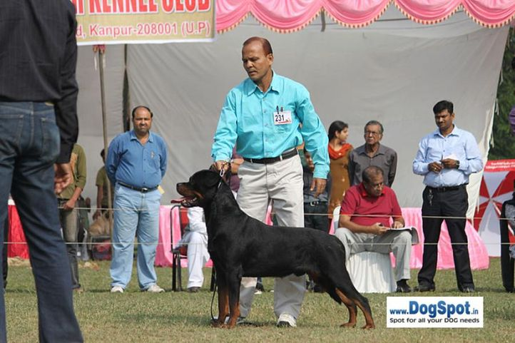 ex-231,rottweiler,sw-7,, BINGO VOM HAUS DRAZIC, Rottweiler, DogSpot.in