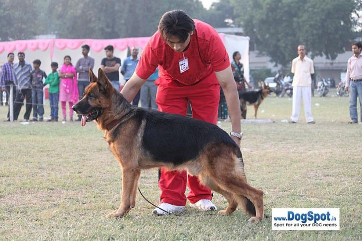 ex-275,gsd,sw-7,, ZAMBO, German Shepherd Dog, DogSpot.in