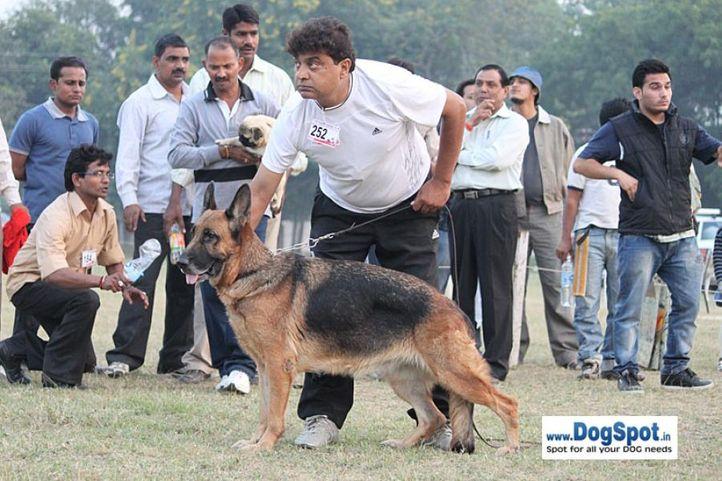 ex-252,gsd,sw-7,, BONITA VOM OASIS, German Shepherd Dog, DogSpot.in