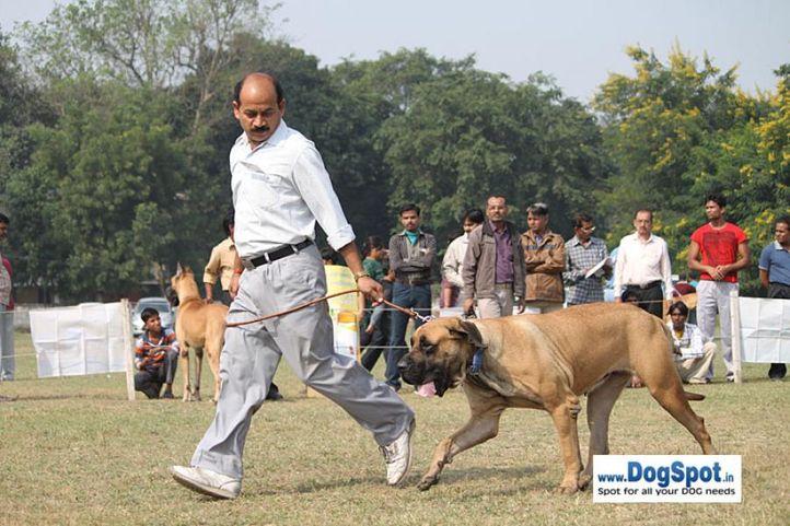 mastiff,sw-7,, Kanpur Dog Show, DogSpot.in