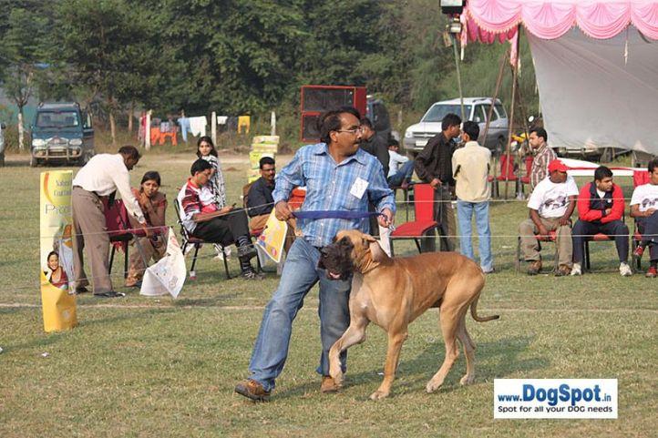 greatdane,sw-7,, Kanpur Dog Show, DogSpot.in