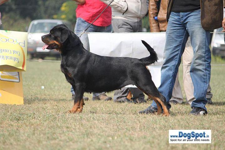 ex-221,rottweiler,sw-7,, Maruschka vom Hause Edelstein, Rottweiler, DogSpot.in
