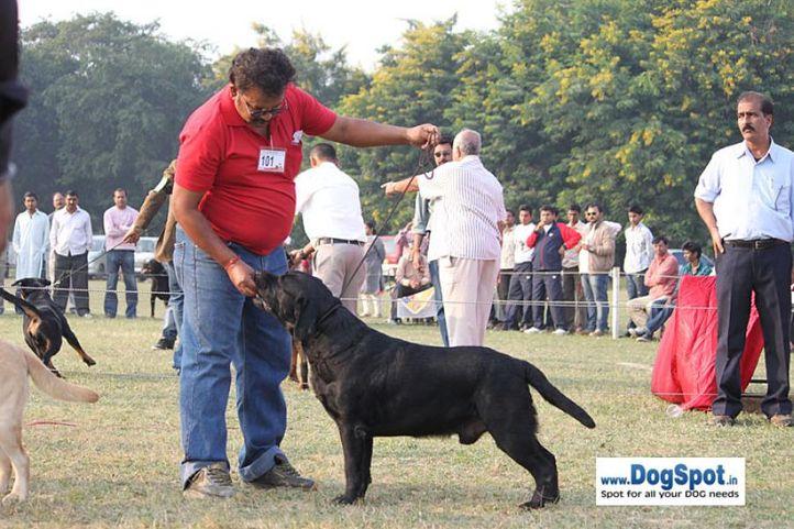 ex-101,rottweiler,sw-7,, CAN CH GACTAREEK POWER STROKE DIESEL, Labrador Retriever, DogSpot.in