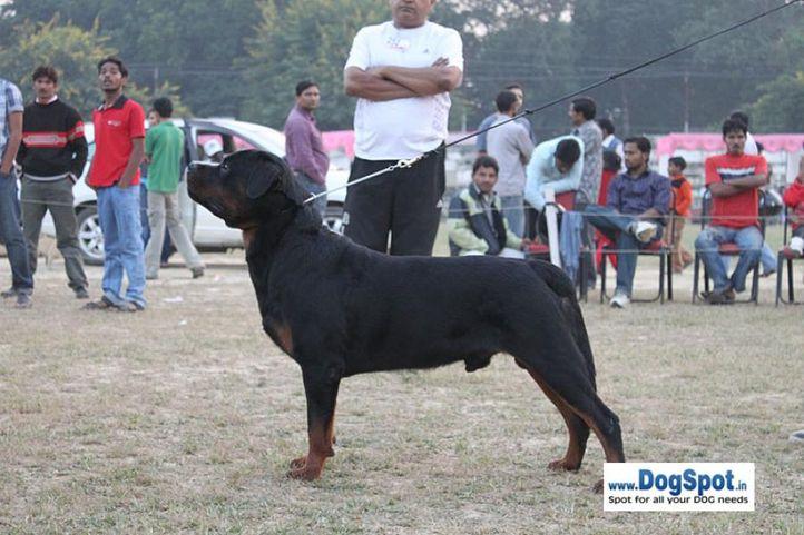 ex-213,rottweiler,sw-7,, IN. CH TH.SRB.JR.CH.CAI VON LENCHEN, Rottweiler, DogSpot.in