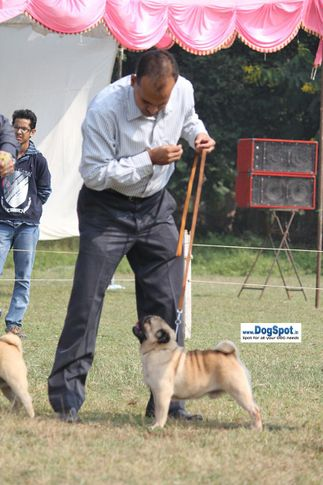 pug,sw-7,, Kanpur Dog Show, DogSpot.in