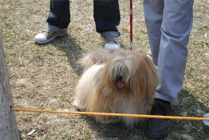 Lhasa Apso,, Kanpur January 2009, DogSpot.in