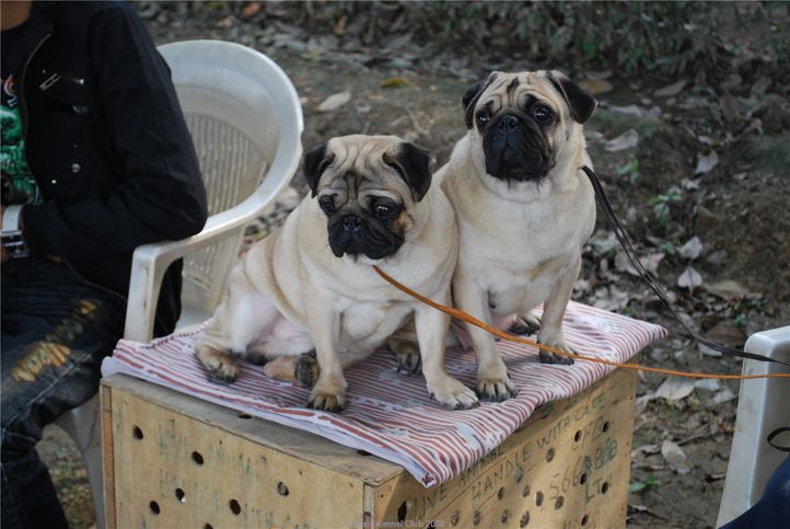 Pug,, Kanpur January 2009, DogSpot.in