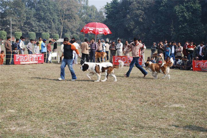 St Bernard,, Kanpur January 2009, DogSpot.in