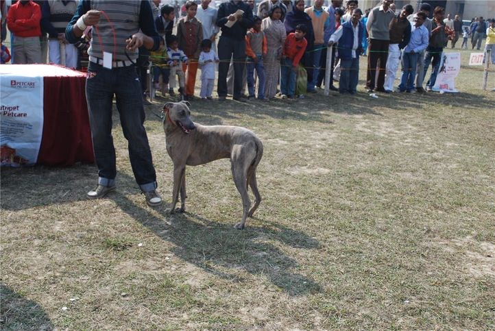 rampur hound,, Kanpur January 2009, DogSpot.in