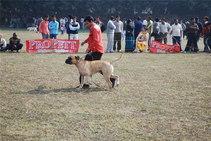 Mastiff,, Kanpur January 2009, DogSpot.in