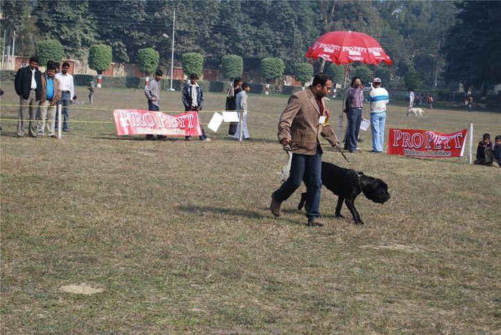 Mastiff,, Kanpur January 2009, DogSpot.in