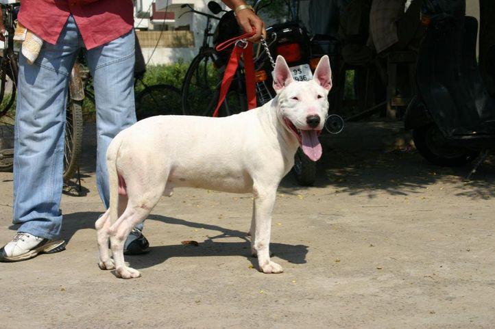 bull terrier, KCI Reg Camp, DogSpot.in