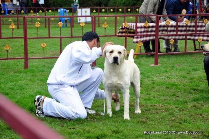 labrador,, Kodaikanal Dog Show 2010, DogSpot.in