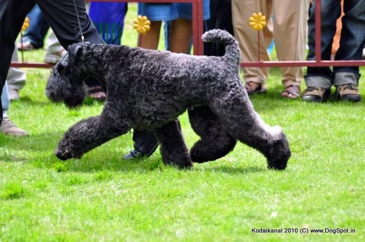 kerry blue,, Kodaikanal Dog Show 2010, DogSpot.in