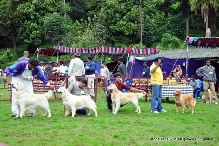 golden,, Kodaikanal Dog Show 2010, DogSpot.in