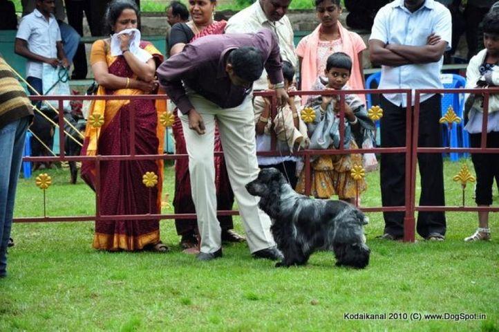 cocker,, Kodaikanal Dog Show 2010, DogSpot.in