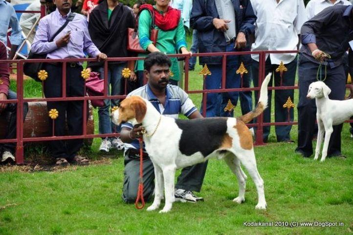 foxhound,, Kodaikanal Dog Show 2010, DogSpot.in