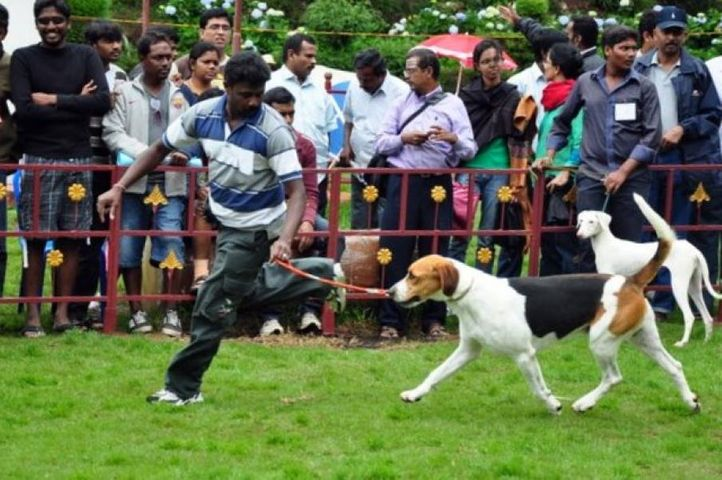 foxhound,, Kodaikanal Dog Show 2010, DogSpot.in