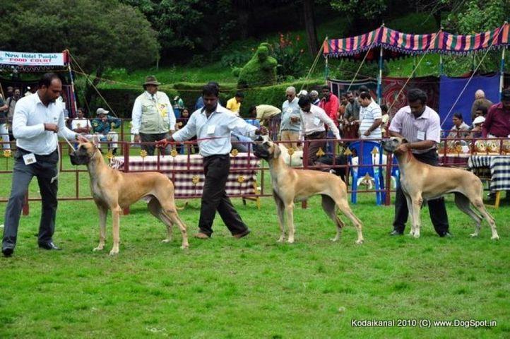 great dane,, Kodaikanal Dog Show 2010, DogSpot.in