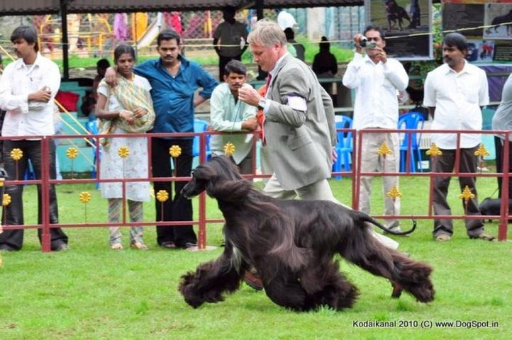 afghan hound, Kodaikanal Dog Show 2010, DogSpot.in
