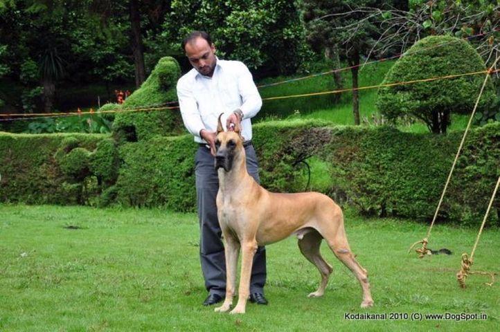 great dane, Kodaikanal Dog Show 2010, DogSpot.in