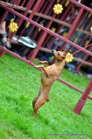 minpin,, Kodaikanal Dog Show 2010, DogSpot.in