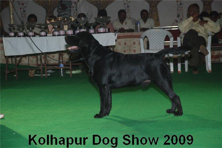Labrador,, Kolhapur 2009, DogSpot.in