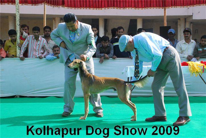 saluki,, Kolhapur 2009, DogSpot.in