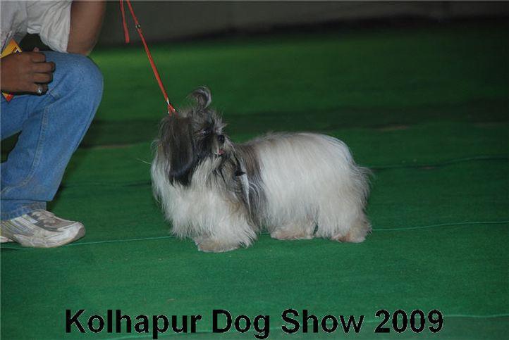 shihtzu,, Kolhapur 2009, DogSpot.in