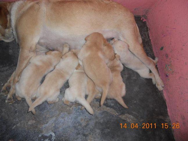 labrador pups kci regd 09911484526, 09212846282, labrador pups kci regd. (09911484526, 09212846282), DogSpot.in