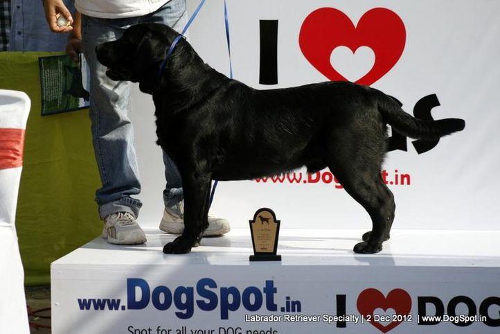 labrador retriever,,  Labrador Retriever Specialty Dog Show New Delhi, DogSpot.in