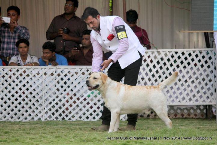 ex-77,labrador retriver,sw-127,, SUNSHINE'S BORN TO WIN, Labrador Retriever, DogSpot.in