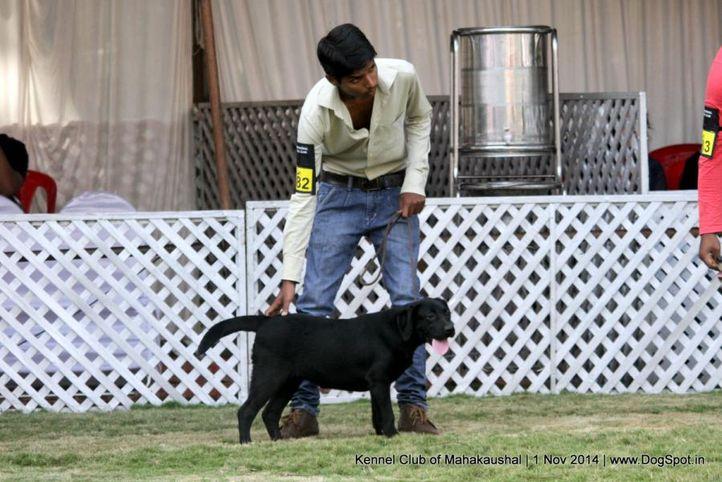 ex-82,labrador retriver,sw-127,, SHE IS DAMMY, Labrador Retriever, DogSpot.in