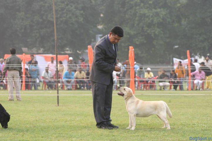 Labrador, Labrador, DogSpot.in