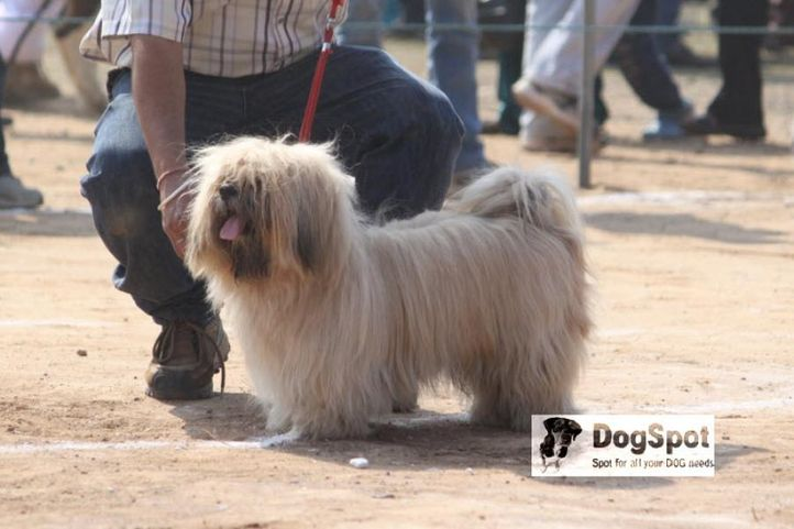 Apso,, Lhasa Apso, DogSpot.in